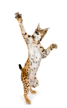 bobcat: Lynx delante de un fondo blanco  Foto de archivo