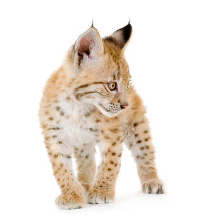 catlike: Lynx cub in front of a white background Stock Photo