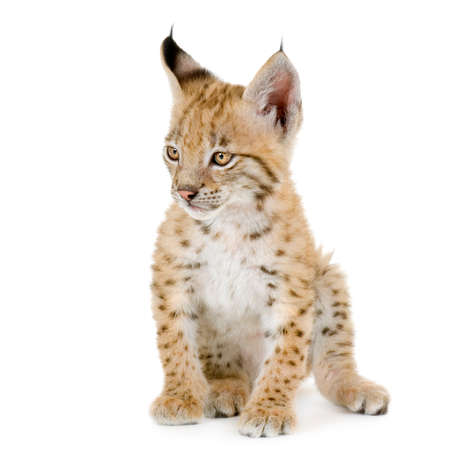 Lynx cub in front of a white background Stock Photo
