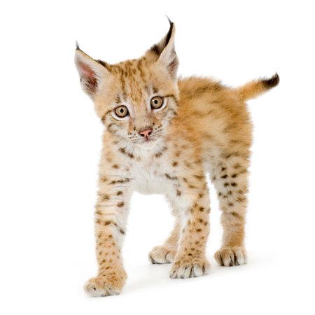 bobcat: Lynx cachorro delante de un fondo blanco