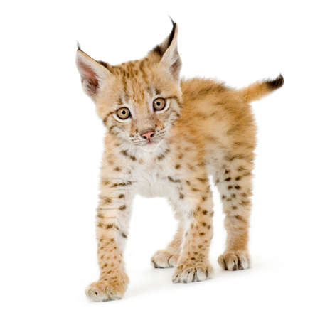 Lynx cub in front of a white background photo