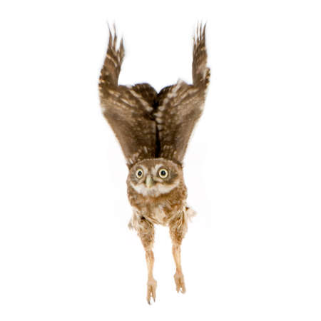 anima: young owl in front of a white background