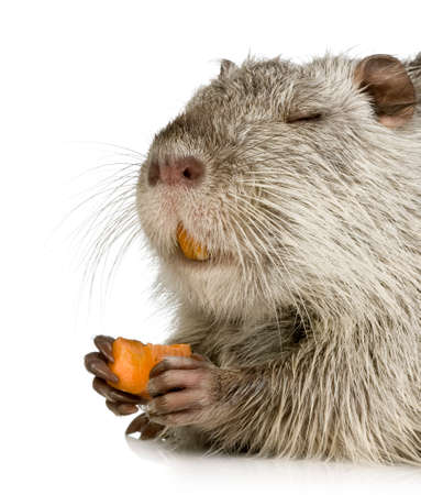 Coypu or Nutria in front of a white background photo