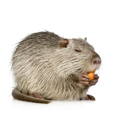 nutria: Coypu or Nutria in front of a white background Stock Photo