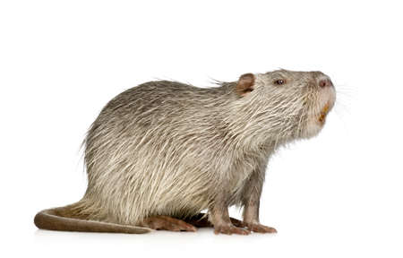 sideview: Coypu or Nutria in front of a white background Stock Photo
