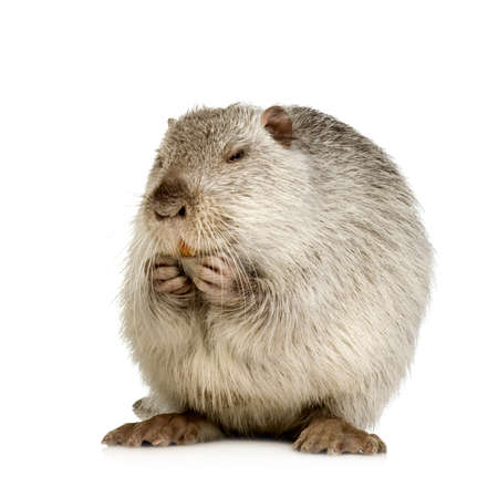 Coypu or Nutria in front of a white background Stock Photo - 1446953