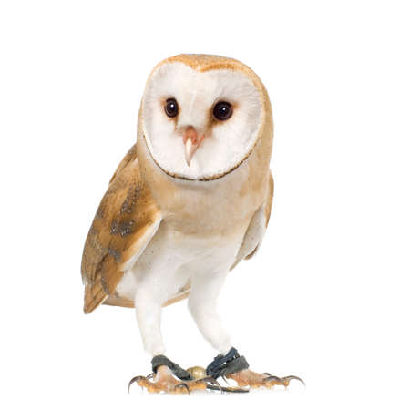 falconry: Common Barn Owl (4 mounths) in front of a white background Stock Photo