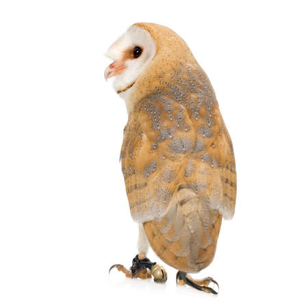 Common Barn Owl (4 mounths) in front of a white background photo