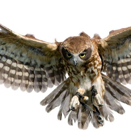 bird of prey: New Zealand owl (3 years) in front of a white background Stock Photo