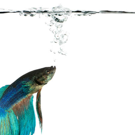 submersion: Shot of a blue Siamese fighting fish under water in front of a white background Stock Photo