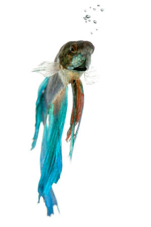 blue siamese: Shot of a blue Siamese fighting fish under water in front of a white background Stock Photo