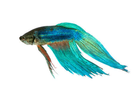 Shot of a blue Siamese fighting fish under water in front of a white background Stock Photo - 1446961