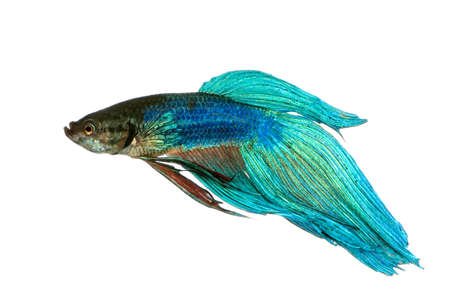 Shot of a blue Siamese fighting fish under water in front of a white background photo