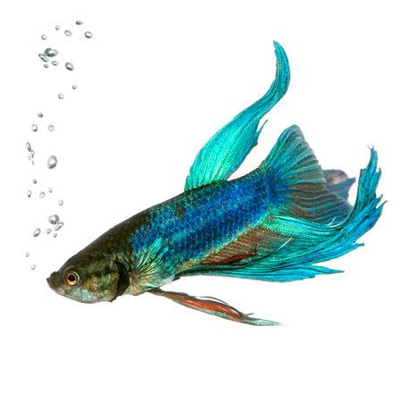 peces de acuario: Shot de un azul Betta splendens bajo el agua delante de un fondo blanco
