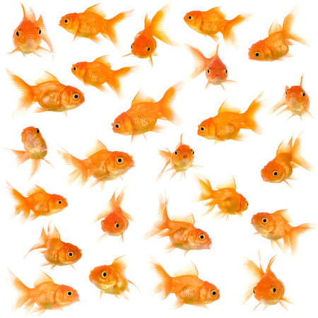 submersion: Goldfish in front of a white background Stock Photo