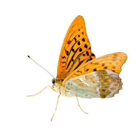 washed: Silver Washed Fritillary Butterfly in front of a white background
