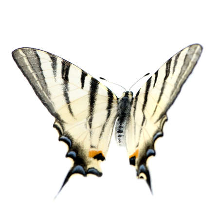 Swallowtail Butterfly in front of a white background photo