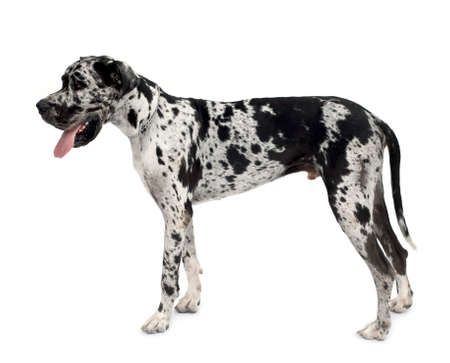 Great Dane HARLEQUIN standing up in front of a white background photo