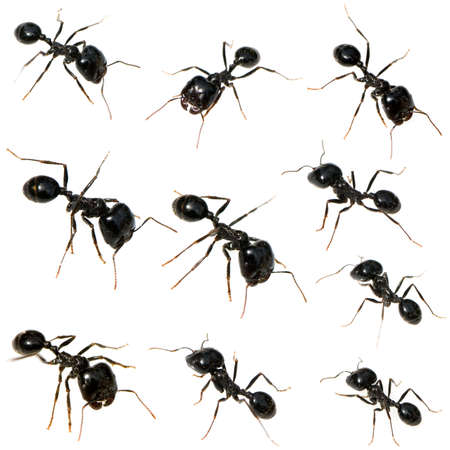 formicidae: Collection of 10 Black Ants in front of a white background in different positions Stock Photo