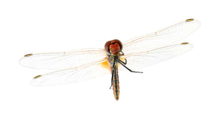 sympetrum: Sympetrum fonscolombei in front of a white background