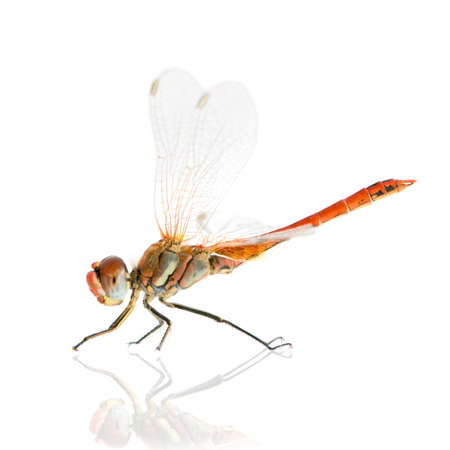 Sympetrum fonscolombei in front of a white background photo