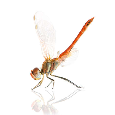 libellulidae: Sympetrum fonscolombei in front of a white background