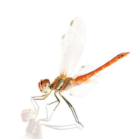 antenna dragonfly: Sympetrum fonscolombei in front of a white background