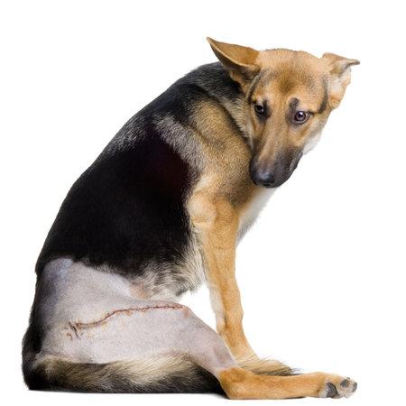 perro policia: Los j�venes heridos pastor alem�n delante de fondo blanco