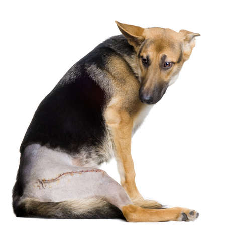 injure: Young wounded german shepherd  in front of white background