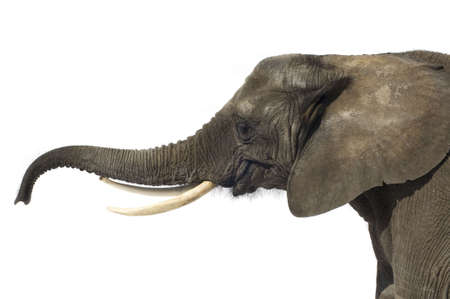 pachyderm: Elephant in front of a white background