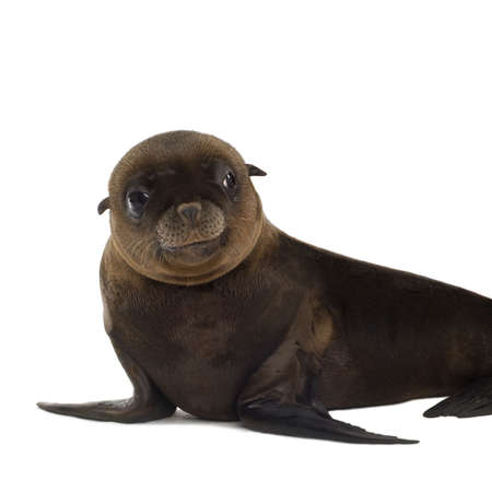 pinniped: sea-lion pup (3 months) in front of a white background