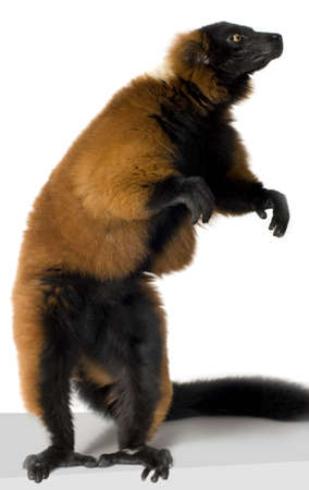 Red Ruffed Lemur in front of a white background