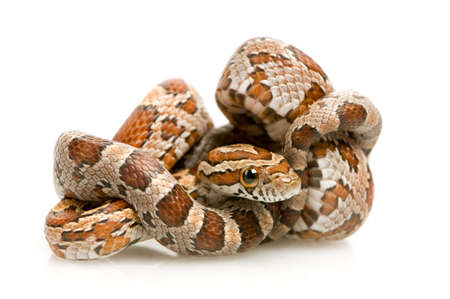 muddle: Corn Snake in front of a white background