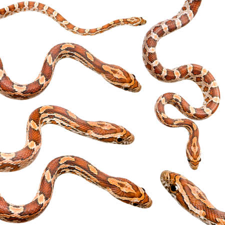 slithering: collection of six Corn Snake in front of a white background