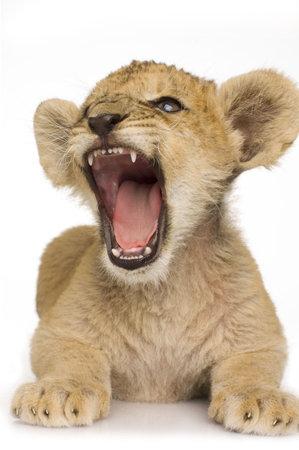 カブ: カブのライオン (3 か月)、白い背景の前に。