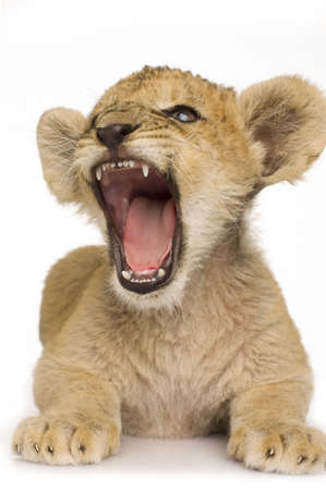 female lion: Lion Cub (3 months) in front of a white background. Stock Photo