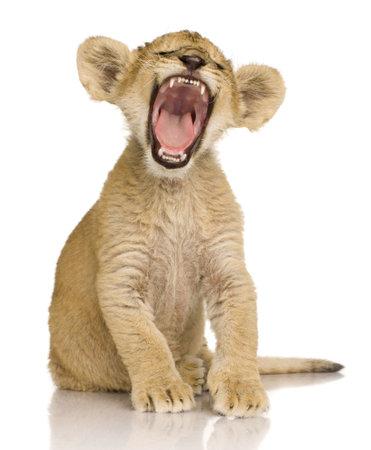 cachorro: Lion Cub (3 meses) delante de un fondo blanco.