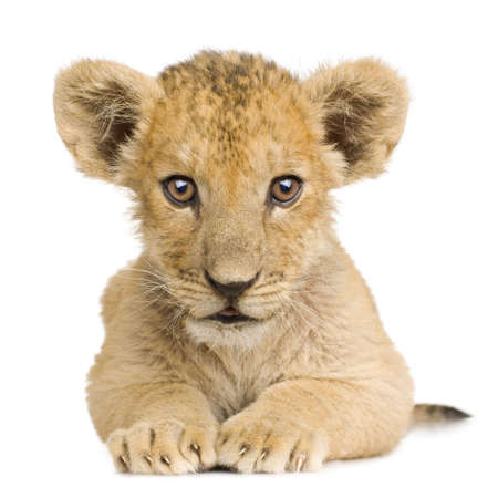 furry tail: Lion Cub (3 months) in front of a white background. Stock Photo