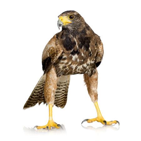 Harris Hawk vor einem weißen Hintergrund