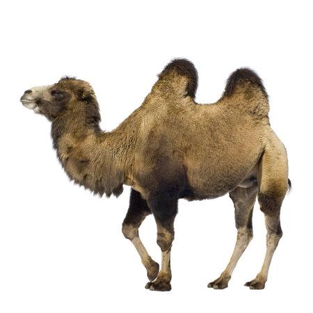 kamel: Kamel vor der einen wei�en Hintergrund