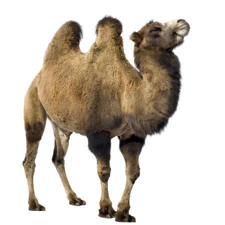 camello: camello delante de un fondo blanco