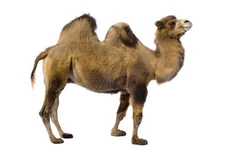 camello: camello delante de un fondo blanco Foto de archivo