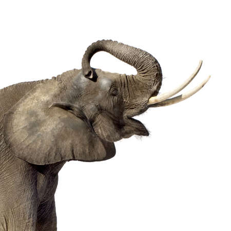 elephant head: Elephant in front of a white background