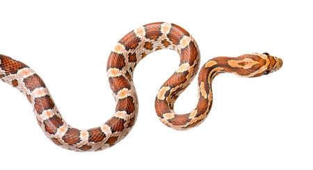slithering: Corn Snake in front of a white background