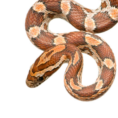coldblooded: Corn Snake in front of a white background