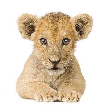 leones: Lion Cub (3 meses) delante de un fondo blanco.