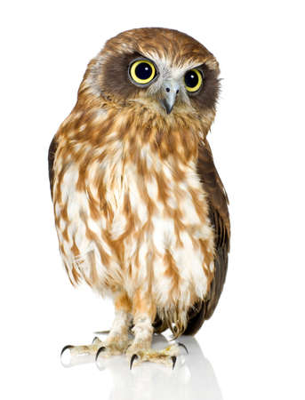 vertebrate: New Zealand owl in front of a white background