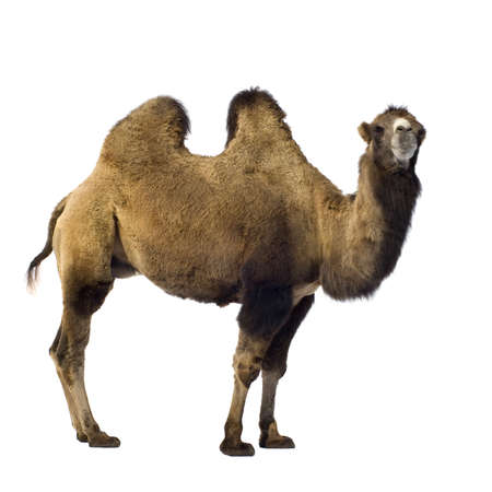 camel in front of a white background