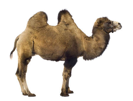 hoofed: camel in front of a white background