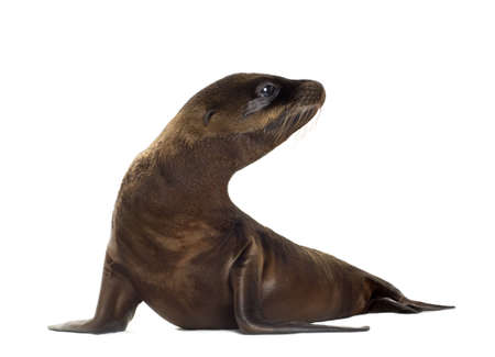 pup: sea-lion pup (3 months) in front of a white background